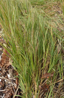 Seashore saltgrass