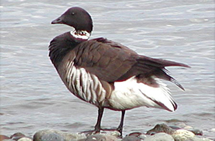 Black brant geese