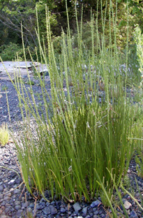 Sea arrow grass