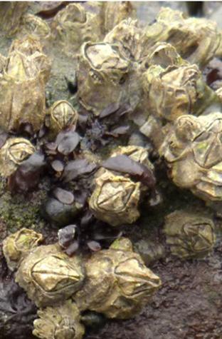 Small acorn barnacles