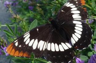 Lorquin's admiral butterflies crop