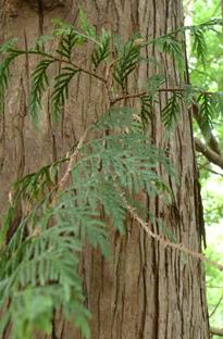 Redcedar bark and leaf