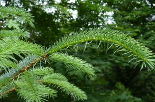 Sitka spruce crop