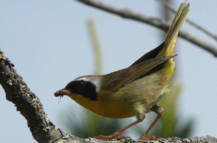 Common yellow-throats warbler