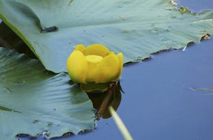 Nuphar blossom