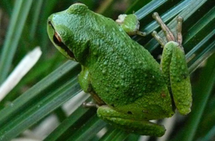 Pacific chorus frog, formerly called a treefrog
