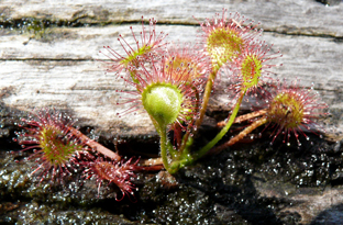 Great or long-leaved sundew