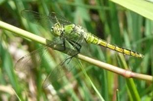 Western pondhawk dragonfly