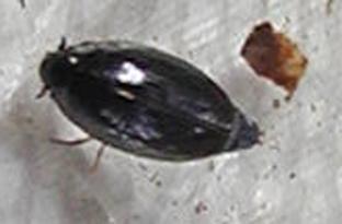 Whirligig beetles